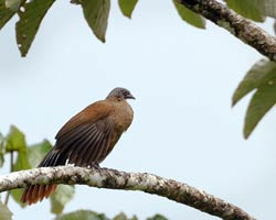 Rufus-vented Chacalaca