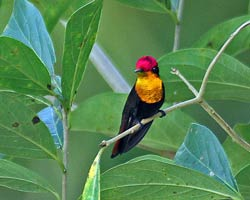 Ruby-topaz Hummingbird male