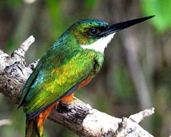Rufous-tailed Jacamar (male)