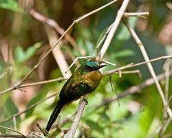 Rufous-tailed Jacamar female