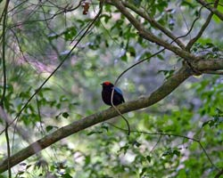 Blue-backed Manakin male